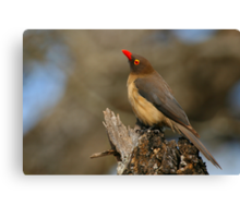 Red-billed Oxpecker Canvas Print