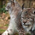 Siberian Lynx by Simon Marsden