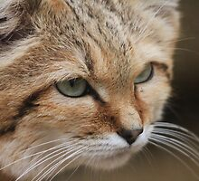 Sand Cat by Rhiannon Phillips