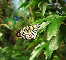 Butterfly - Tree Nymph by AmandaJanePhoto