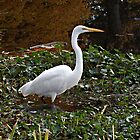 Rare Siting of a White Egret in Verona Lake, Verona NJ by Jane Neill-Hancock