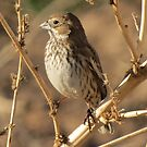 Lark Bunting (Non-breeding) by Kimberly P-Chadwick