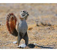Cape Ground Squirrel Photographic Print