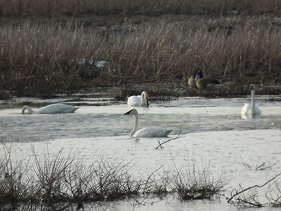 Trumpeter Swans Four at Sweet Marsh by Deb Fedeler