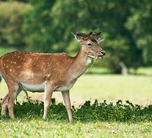 Fallow Deer by cameraimagery