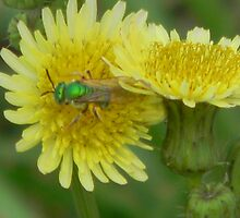 Green Bee on Dandelion - Feral Bees are GONE! Read Description by Navigator