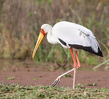 Yellow-billed Stork Feeding by Carole-Anne