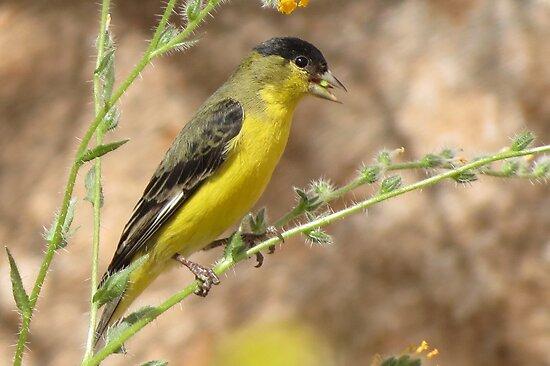 Lesser Goldfinch (Male) by Kimberly Chadwick