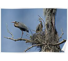 Nesting Pair of Great Blue Herons High in a  Dead Tree Poster