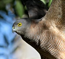 ~ Brown Goshawk ~ by LeeoPhotography