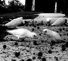 Wanted; a recipe for Corella pie by geof