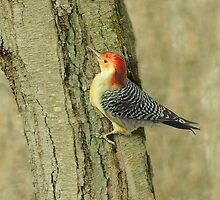 Big Daddy Red Headed Woodpecker by Cindy Longhini