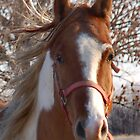 Pinto in The Wind by Kathleen Stephens