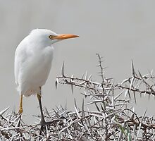 Cattle Egret (Bubulcus ibis) by Warren. A. Williams