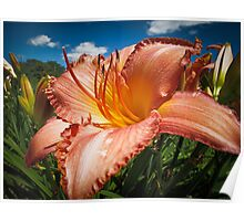 Basking in the Sunlight ~ Peach Colored Lily in a Flower Garden on a Hot Summer Day Poster