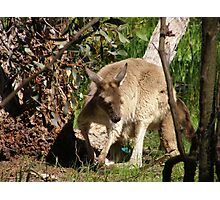 I'll Sneak away whilst mums not looking. Joey, back patio.S.Aust. Photographic Print