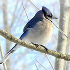 Moody Blue Jay  by Jean Gregory  Evans