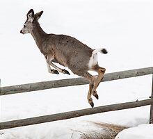 Black Tail Deer by Jim Stiles