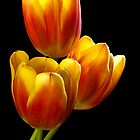 Tulip Trio - Heat Wave by Greg Summers