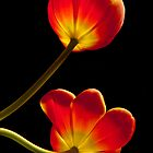 Tulips Glow by Greg Summers