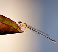 Dragonfly  by Alison Hill