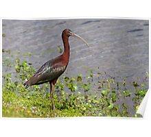 Glossy Ibis at waters edge Poster