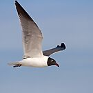 Laughing Gull by Jim Cumming