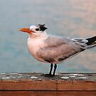 Royal Tern by Jim Cumming