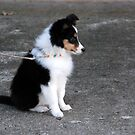 Shetland Sheepdog by Vonnie Murfin