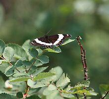 Summer Butterfly enjoying the sun by cmark