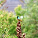 Orange-breasted Sunbird by croust