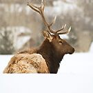 Snow Elk 1 by jeff welton
