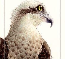 Osprey (Pandion haliaetus) card by Laura Grogan