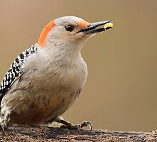 Female Red Bellied Woodpecker by Gregg Williams