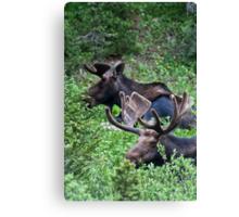 Bull Moose 2 Canvas Print