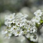Washington Hawthorn Blooms by DonCondley