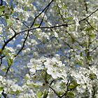 Washington Hawthorn Blooming in Arkansas by DonCondley