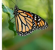 monarch butterfly 5 by bluetaipan