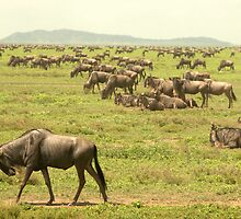 wildebeest of the Serengeti by Catherine Ames