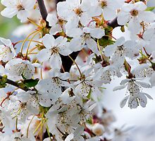 cherry blossom close-up  by torishaa
