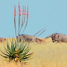 The Aloe and the Wilderbeeste by Donald  Mavor