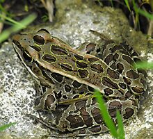 Leopard Frog by Tracy Faught