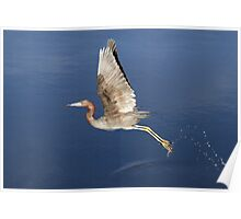 Little Blue Heron takes off Poster