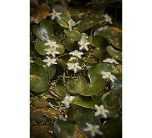 Nymphoides Indica Photographic Print