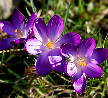 Crocus by Will Corder | Photography