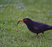 Blackbird - Turdus Merula by Lauren Tucker