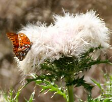 Gulf Fritillary on white blooming weed 1 by KSKphotography