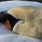 A sleepy Swan by Hovis