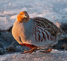 Gray Partridge by Michael Cummings