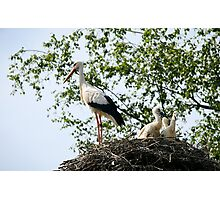 Stork family on the nest  Photographic Print